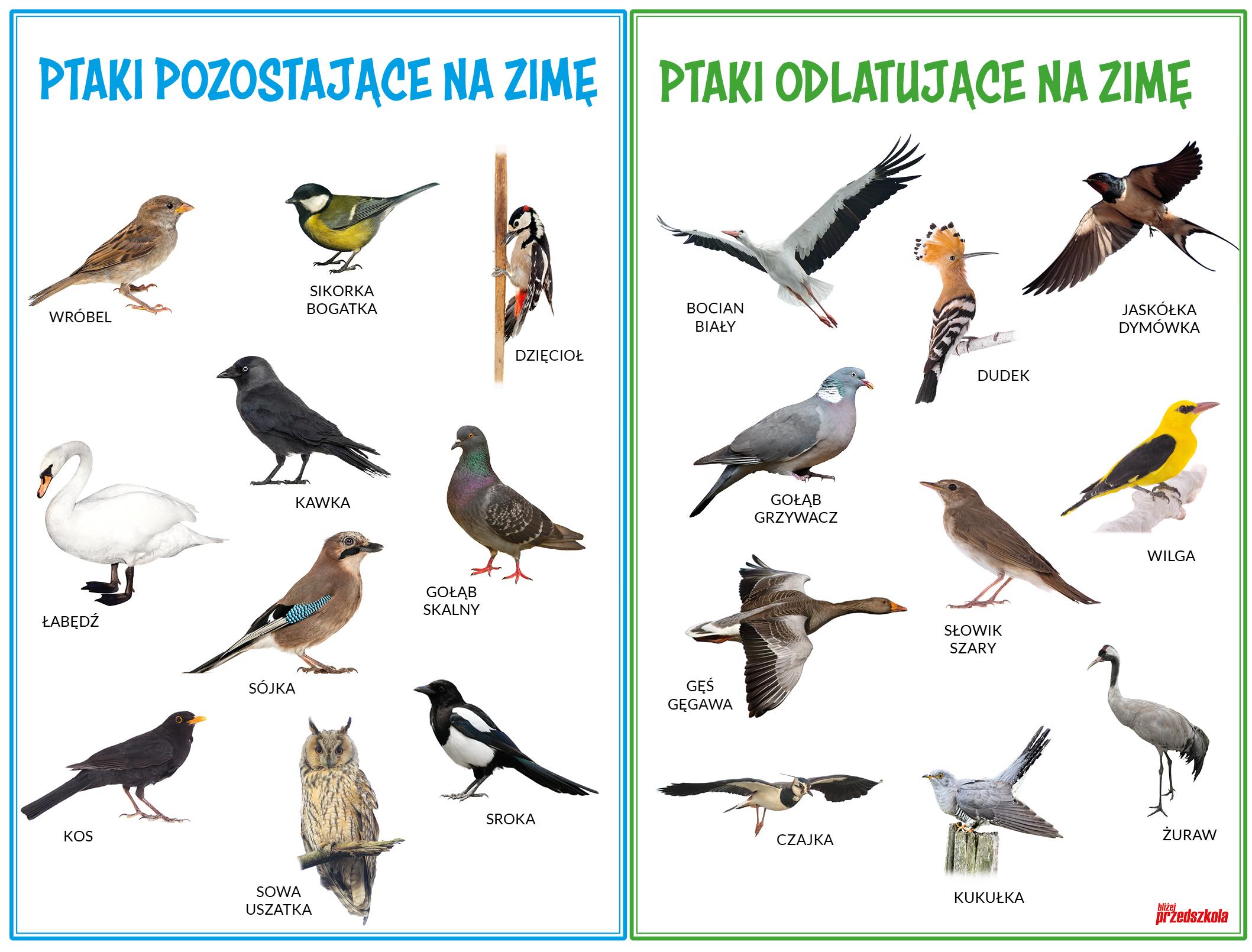 Plakat Jakie Ptaki Zimują W Polsce Scenariusze Zajęć I Artykuły